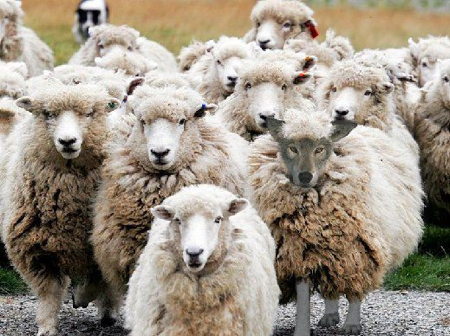 Identity Theft Sheep